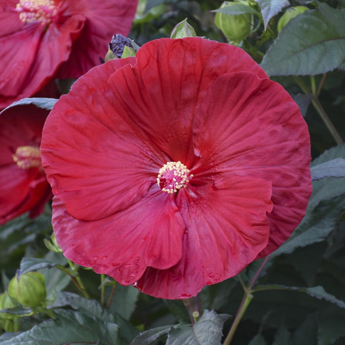Hibiscus Summerific Cranberry Crush Rose Mallow Thetreefarmcom