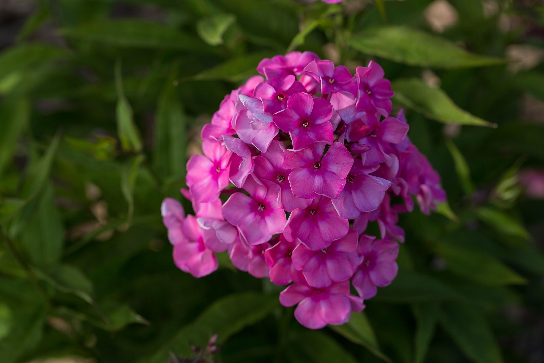 Phlox Tall Garden Candy Store Bubblegum Pink