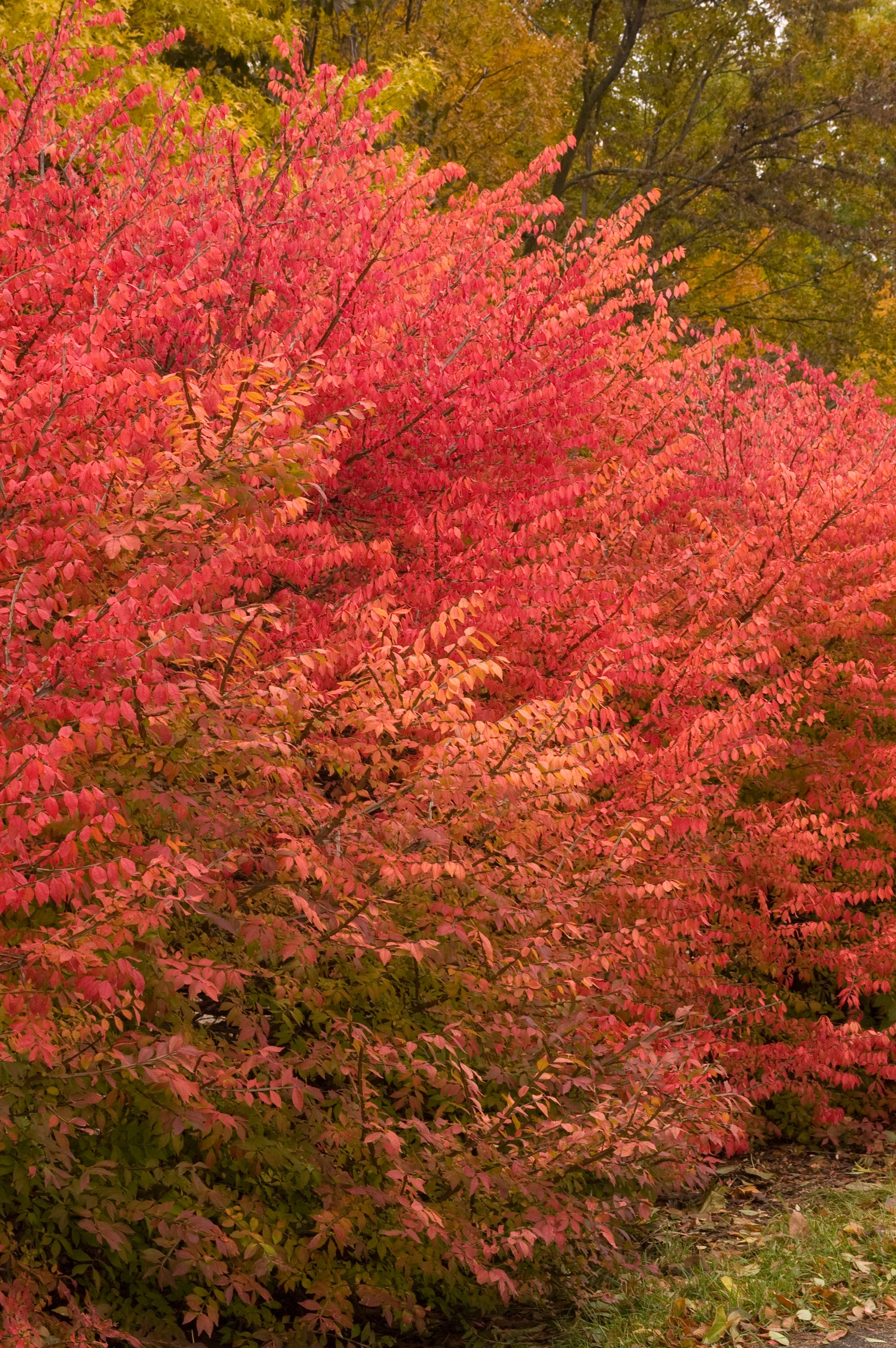 Burning Bush Winged Euonymus Thetreefarm Com