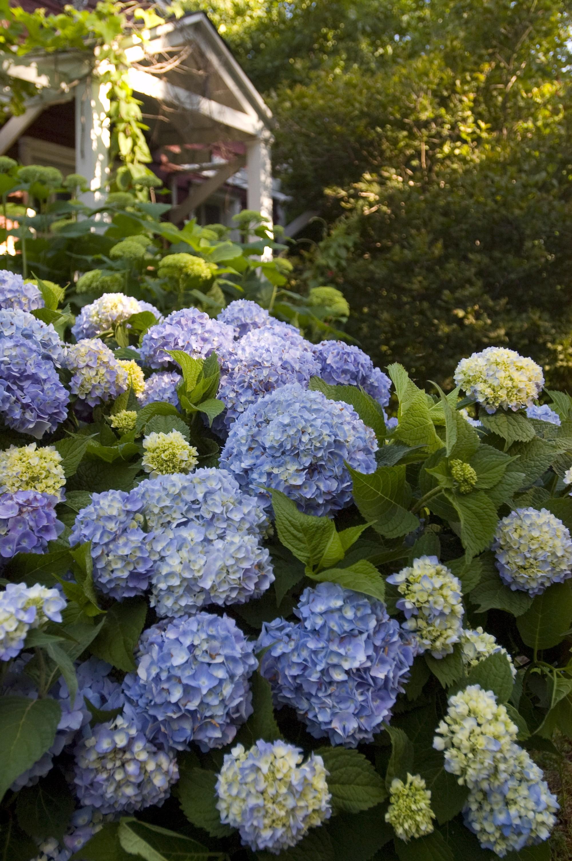hydrangea endless summer174 the original thetreefarmcom