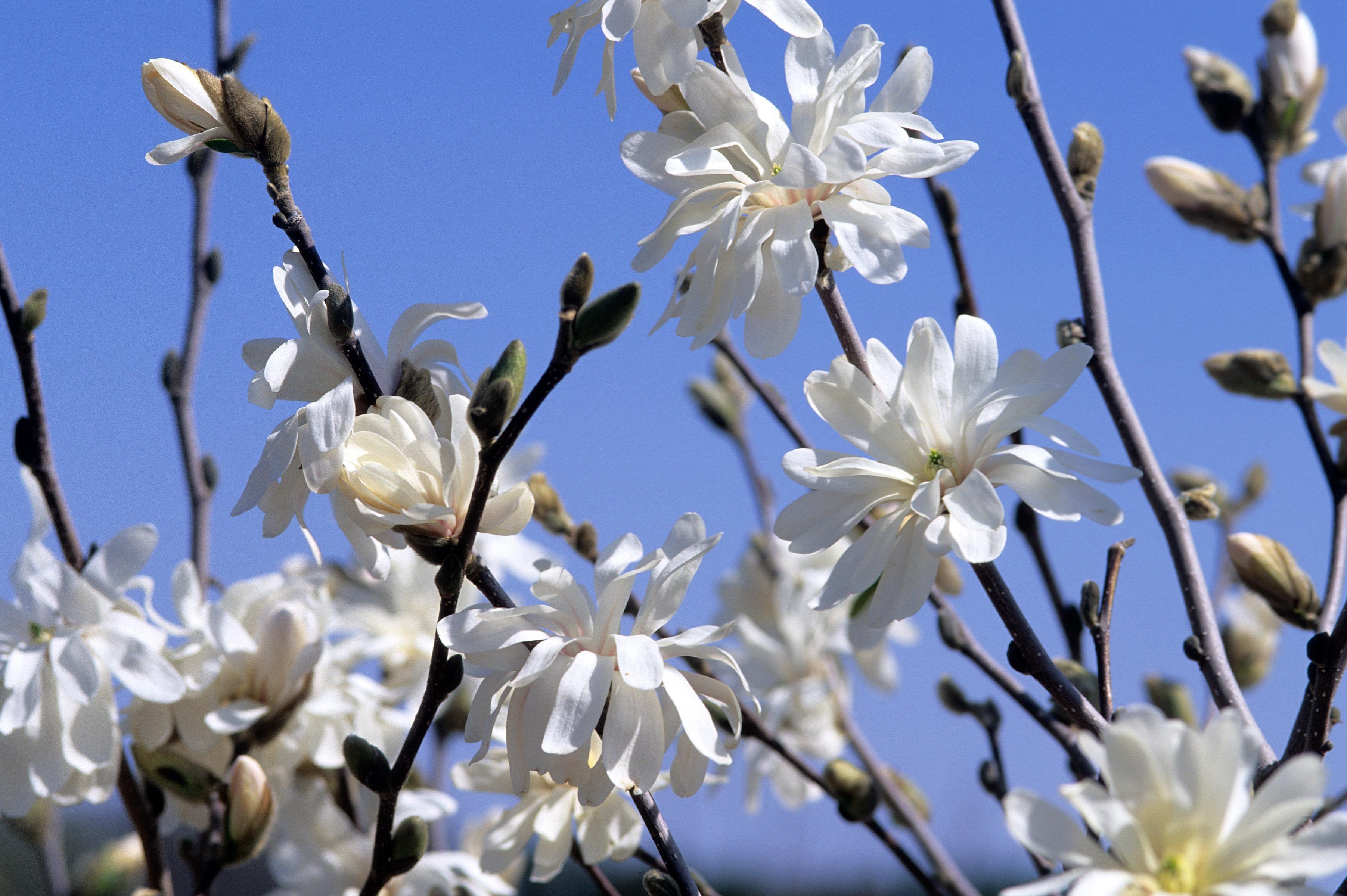 Magnolia Royal Star Thetreefarmcom