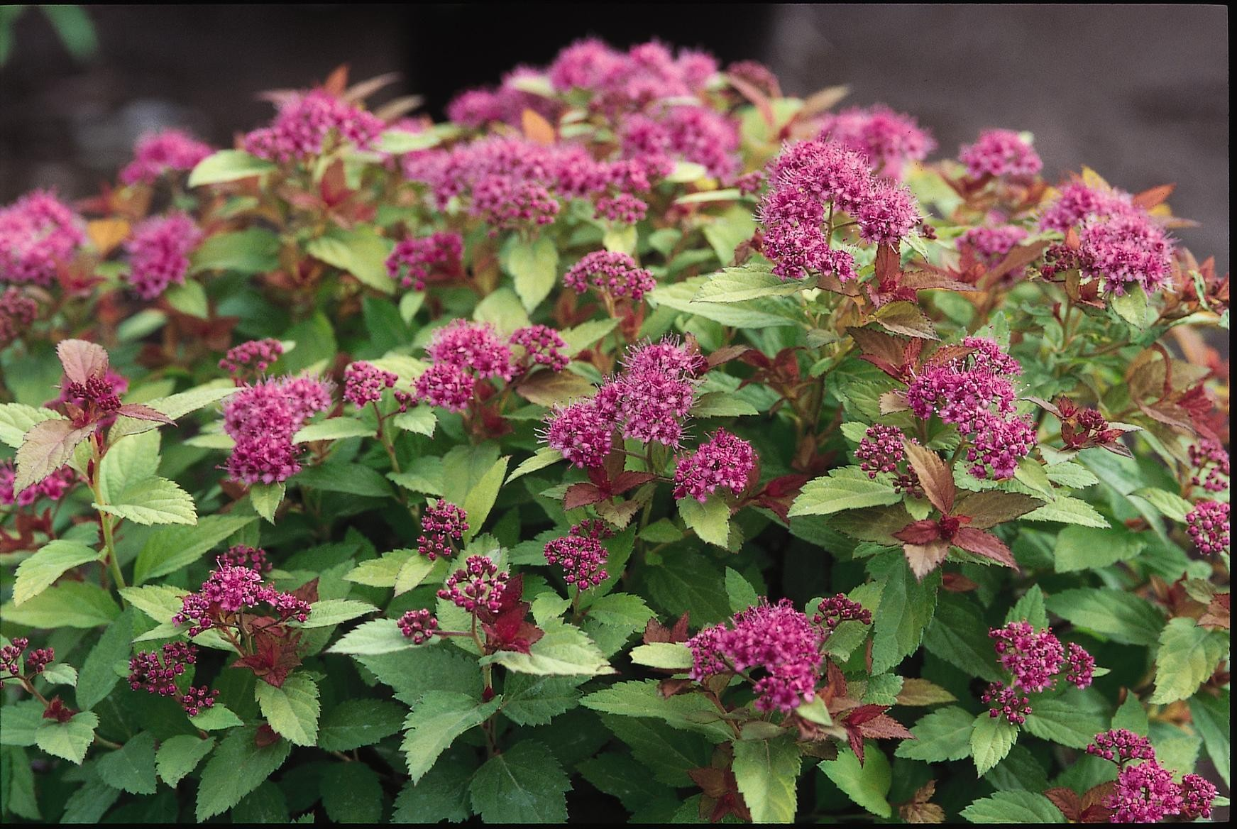 Spirea Magic Carpet Thetreefarm Com