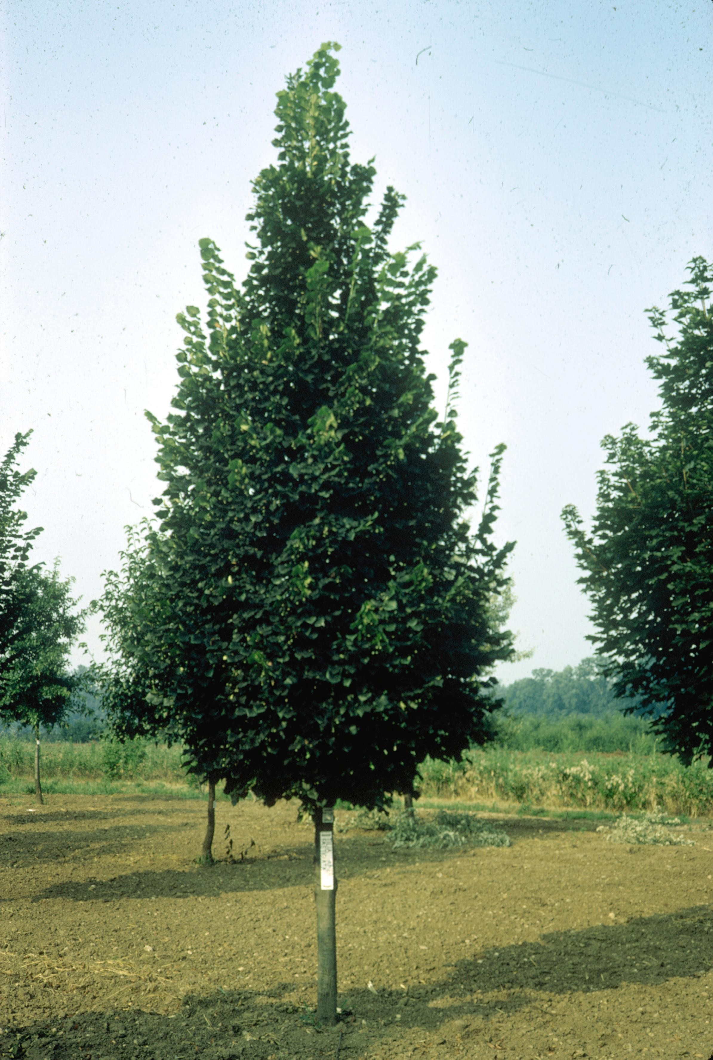 Which Trees Are Used To Make Paper: Greenspire Linden