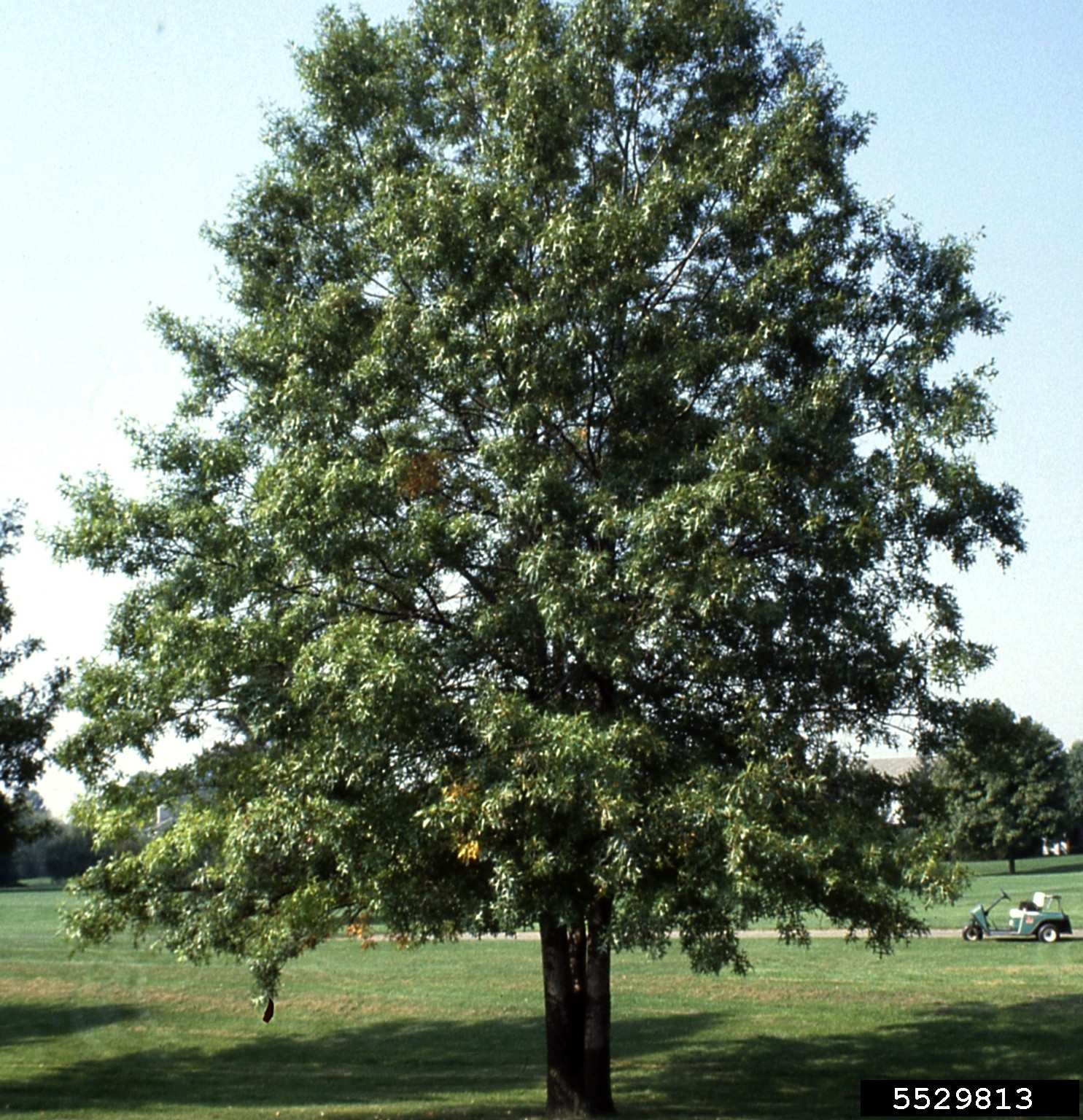 Oak Chinkapin Thetreefarm Com