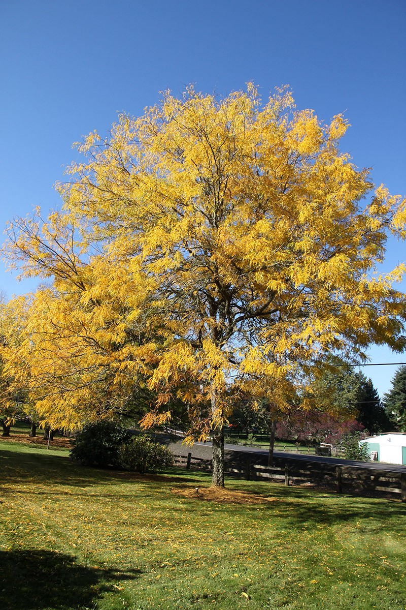 Hard Water Areas >> Skyline® Honeylocust - TheTreeFarm.com