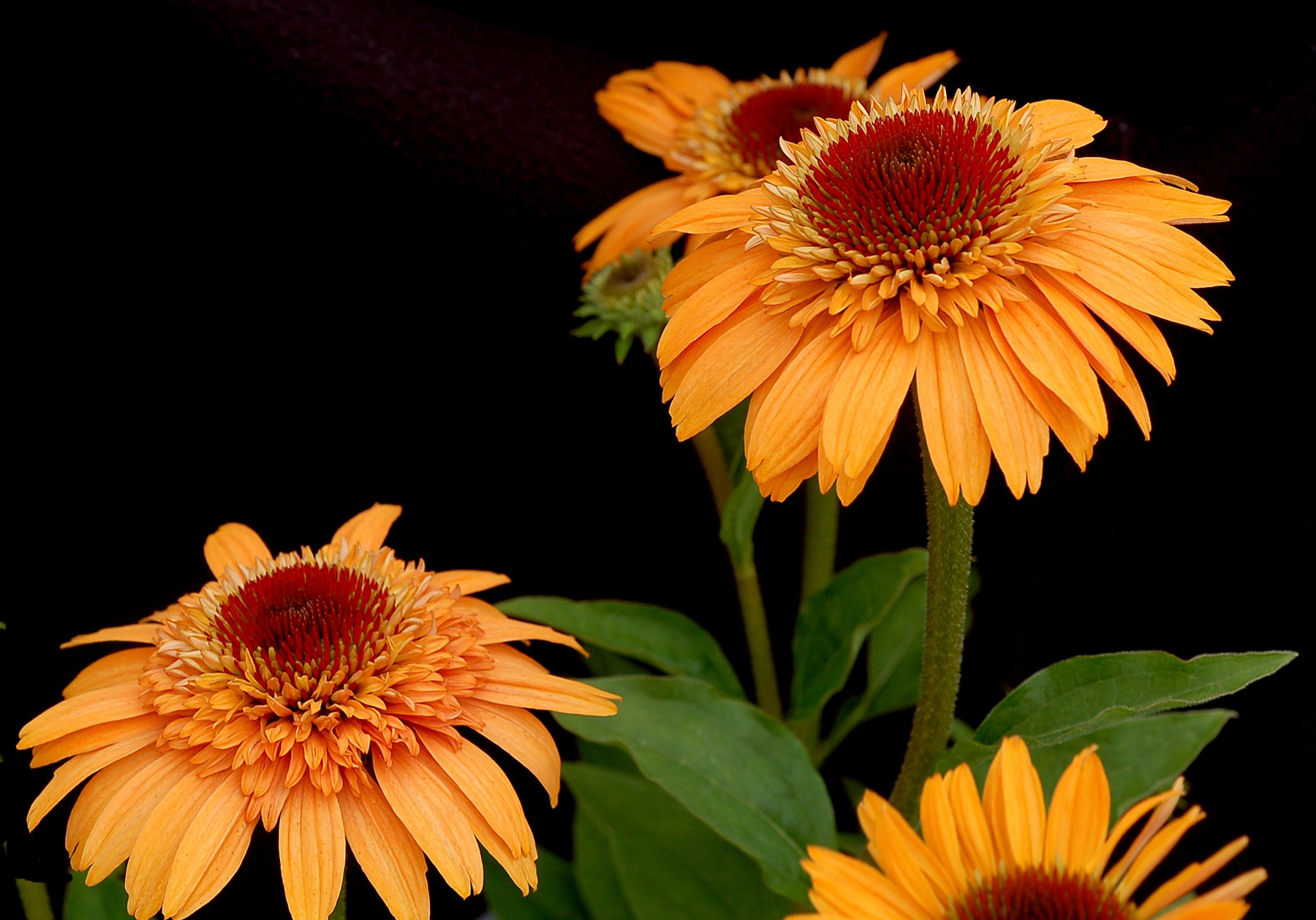 coneflower  supreme u2122 cantaloupe  echinacea