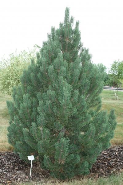 Pine Mugho Tannenbaum Semi Dwarf Thetreefarm Com