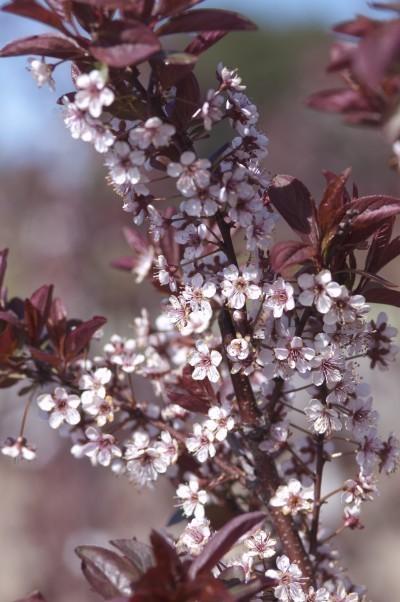 Plum Newport Flowering Thetreefarm Com
