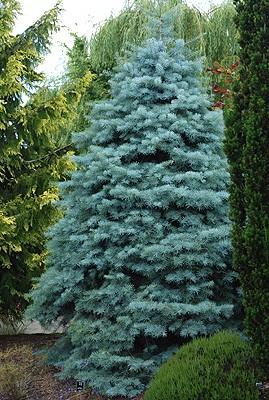 Fir Concolor Blue Cloak Thetreefarm Com