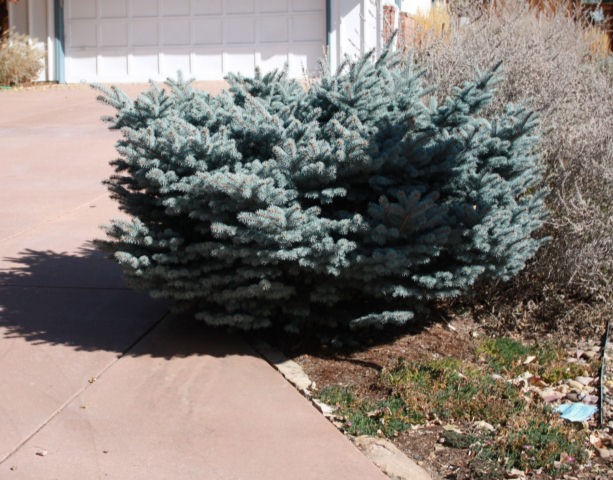 Spruce Colorado Globe Dwarf Thetreefarm Com
