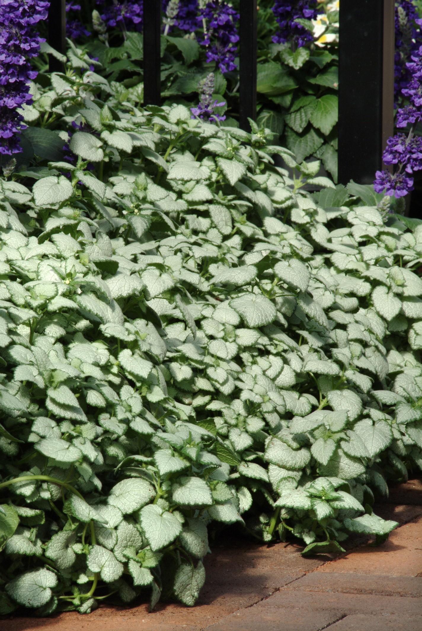 Nettle White Nancy Lamium Thetreefarm