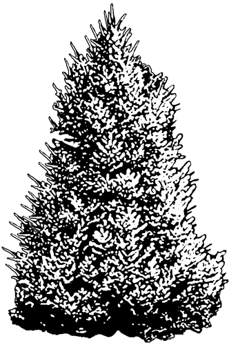 blue spruce coloring pages - photo#16
