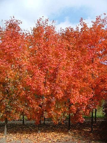 Maple, Bigtooth Highland Park® - TheTreeFarm.com