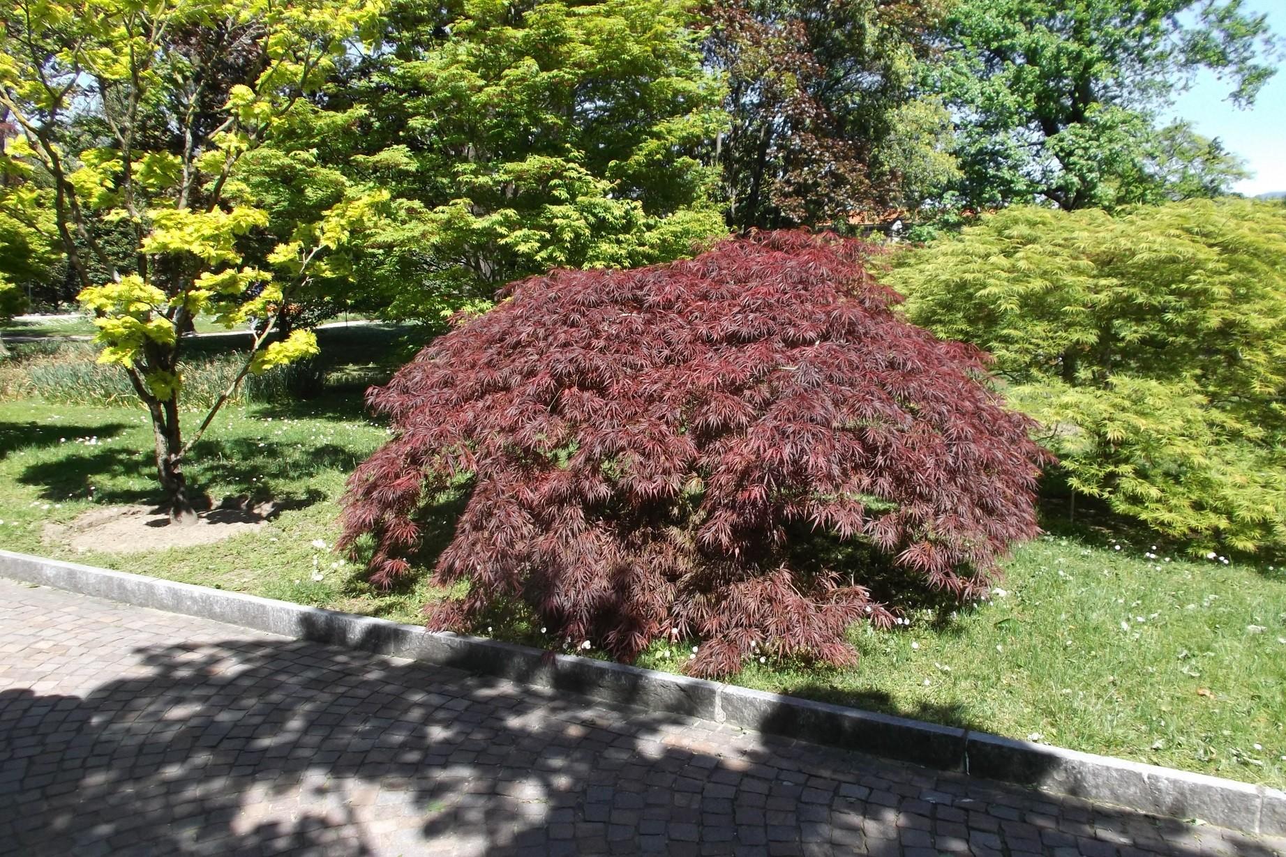Maple Japanese Burgundy Lace Thetreefarm Com