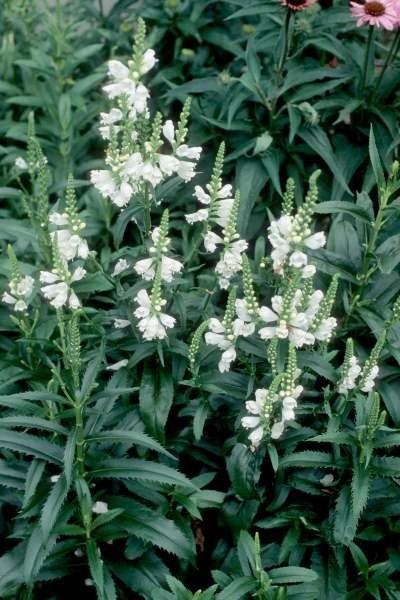 Obedient Plant, Miss Manners - TheTreeFarm.com