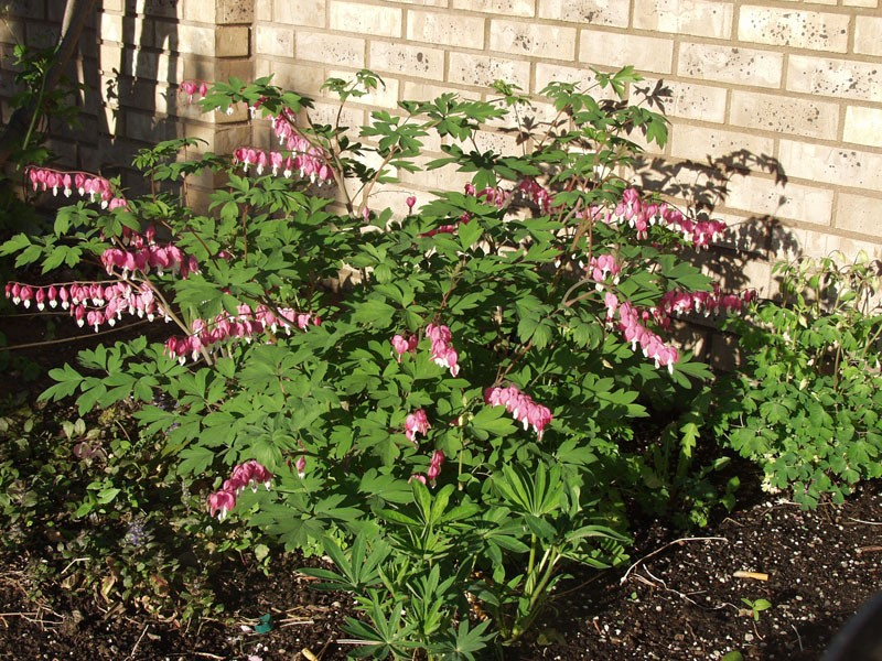 Old Fashioned Bleeding Heart Plant