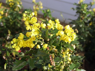 Grape holly oregon mahonia thetreefarm oregon grape hollyphoto arbortanics inc mightylinksfo