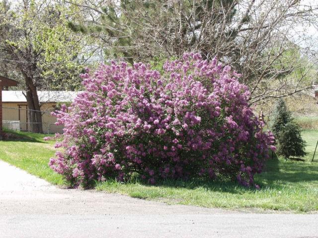 Lilac Persian Purple Thetreefarm Com