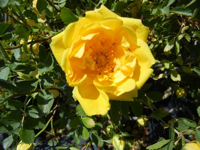 Rose Persian Yellow Thetreefarm Com
