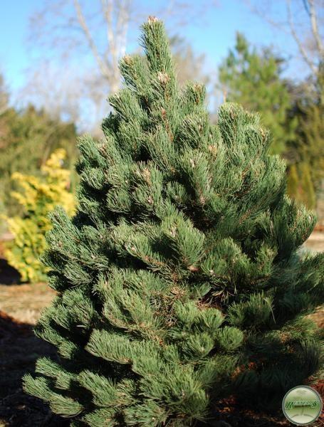 pine austrian 39 winter jade 39 semi dwarf. Black Bedroom Furniture Sets. Home Design Ideas