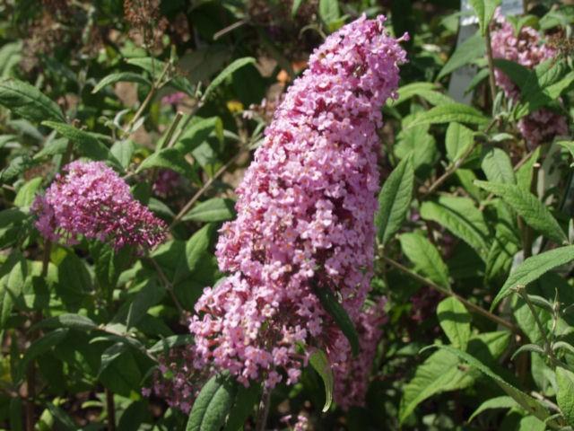 Butterfly Bush Pink Delight Thetreefarm Com