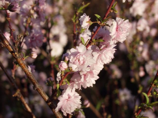 Almond Pink Flowering Thetreefarm Com