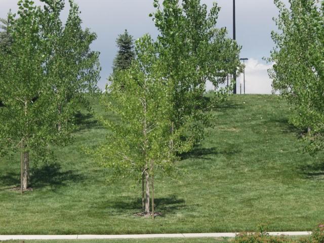 Plains Straight Cottonwood Thetreefarm Com