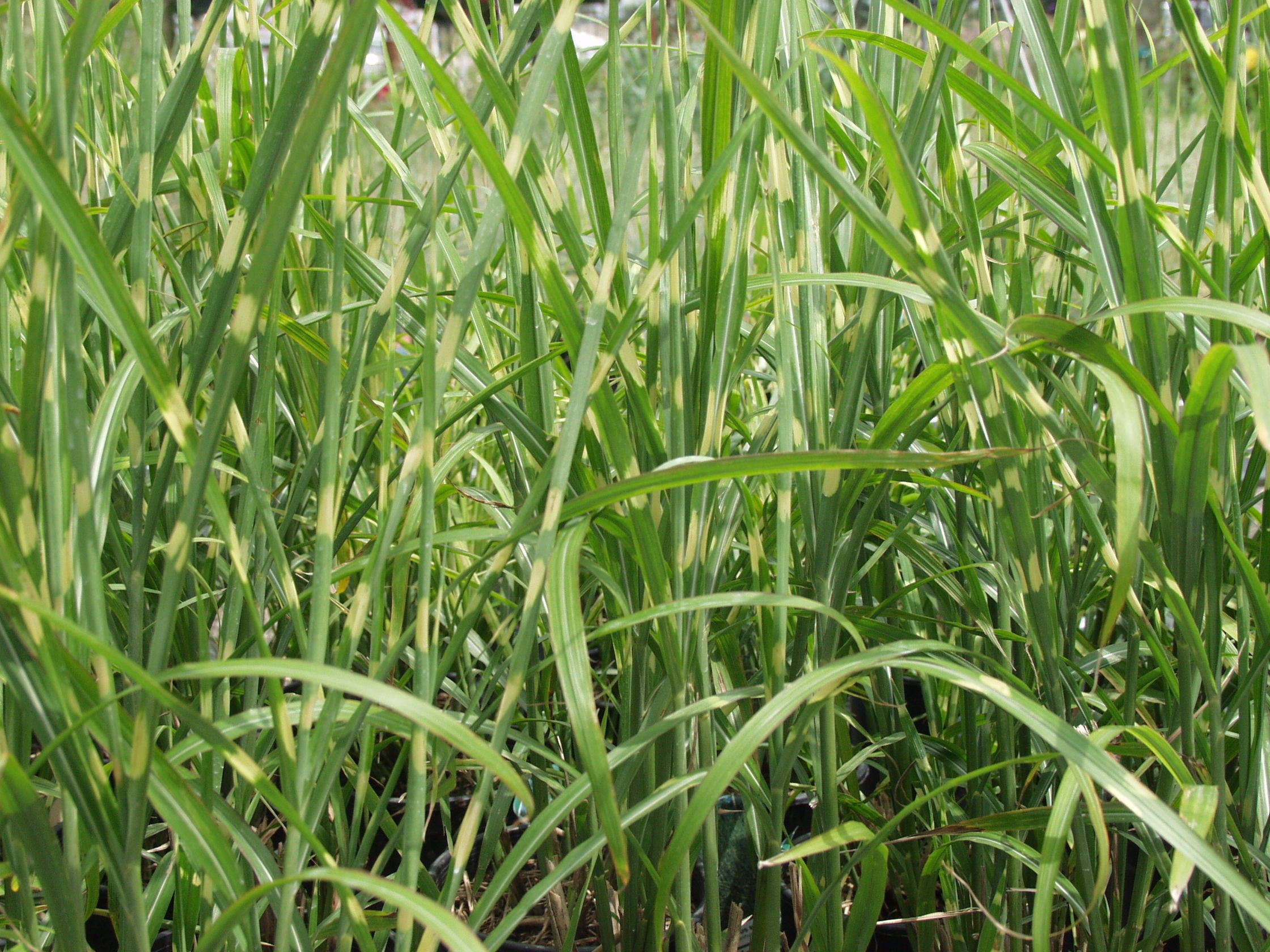 Japanese silver grass porcupine miscanthus for Japanese grass