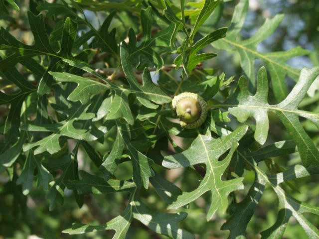 Oak Gambel Thetreefarm Com