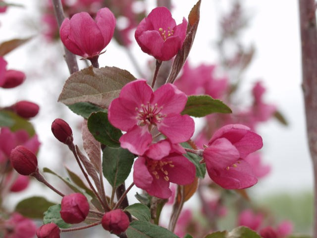 Crabapple radiant thetreefarm radiant pink crabapple photo arbortanics inc radiant flowering crabapple photo arbortanics inc mightylinksfo
