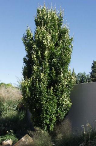 Buckthorn Tallhedge Thetreefarm Com