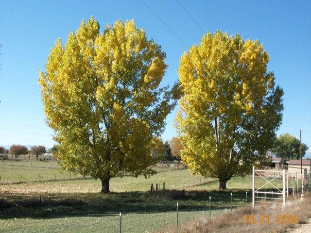 how to fall cottonwood trees
