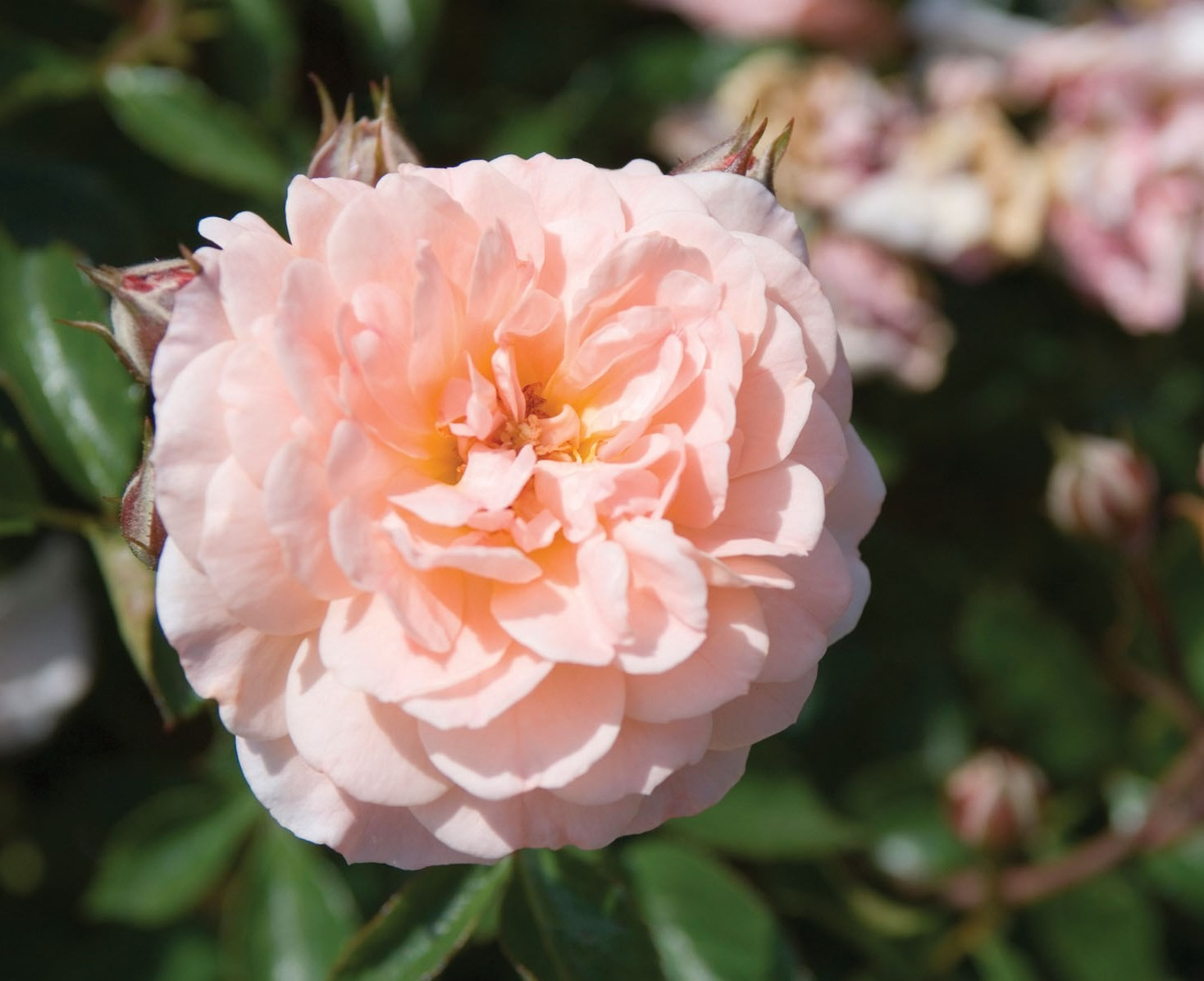Roses In Garden: Rose, Drift® Apricot
