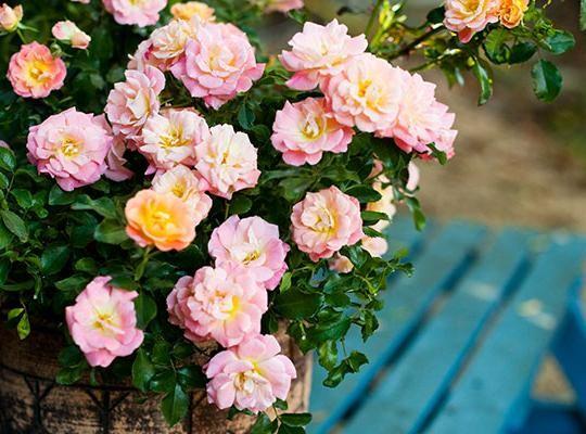 Rose Drift 174 Peach Thetreefarm Com
