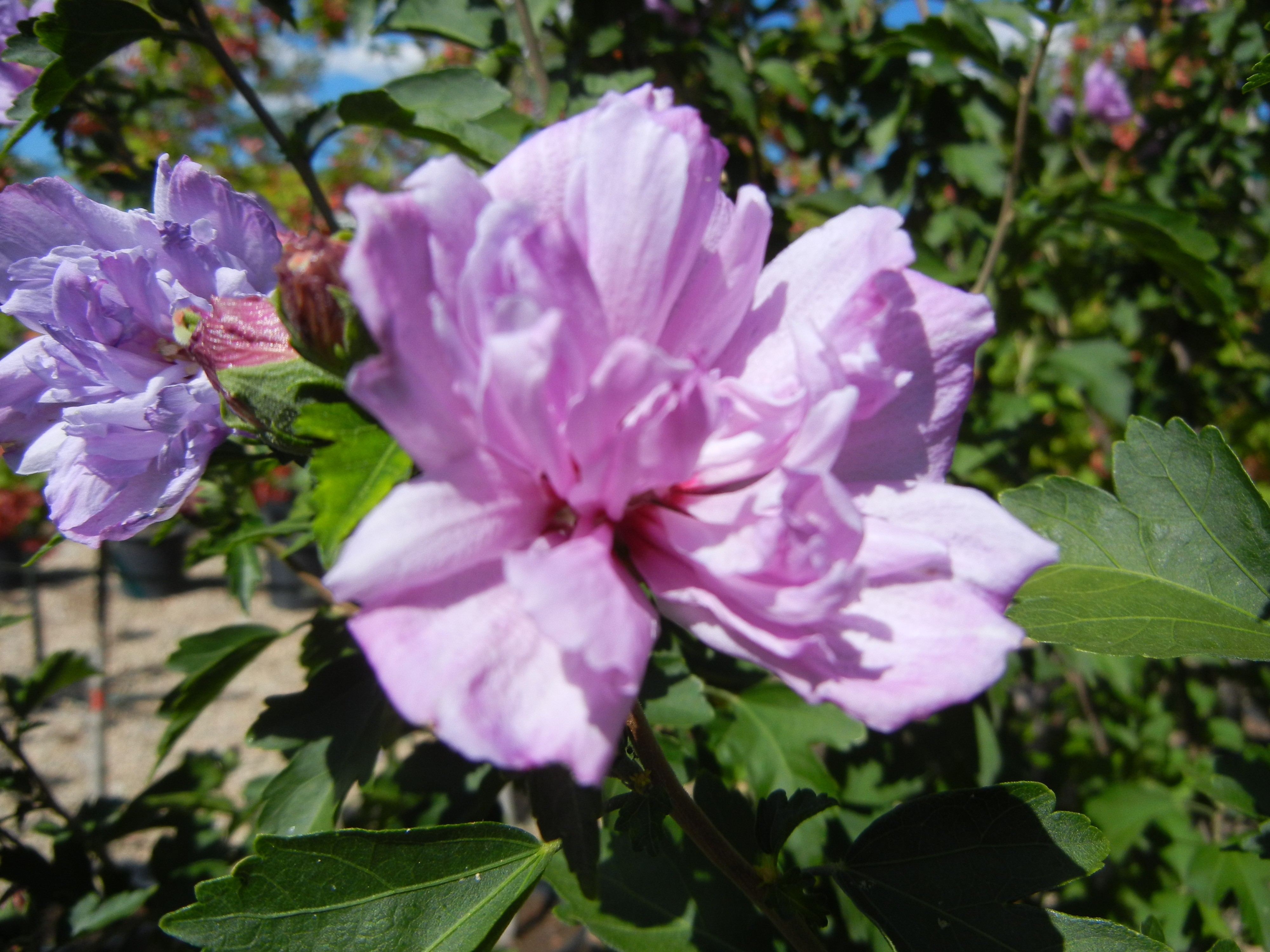 Rose of Sharon, Ardens...