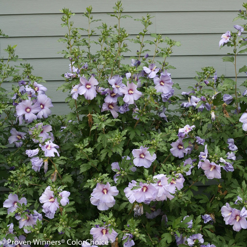 Rose of Sharon, Azurri Blue Satin™ (Althea) - TheTreeFarm.com