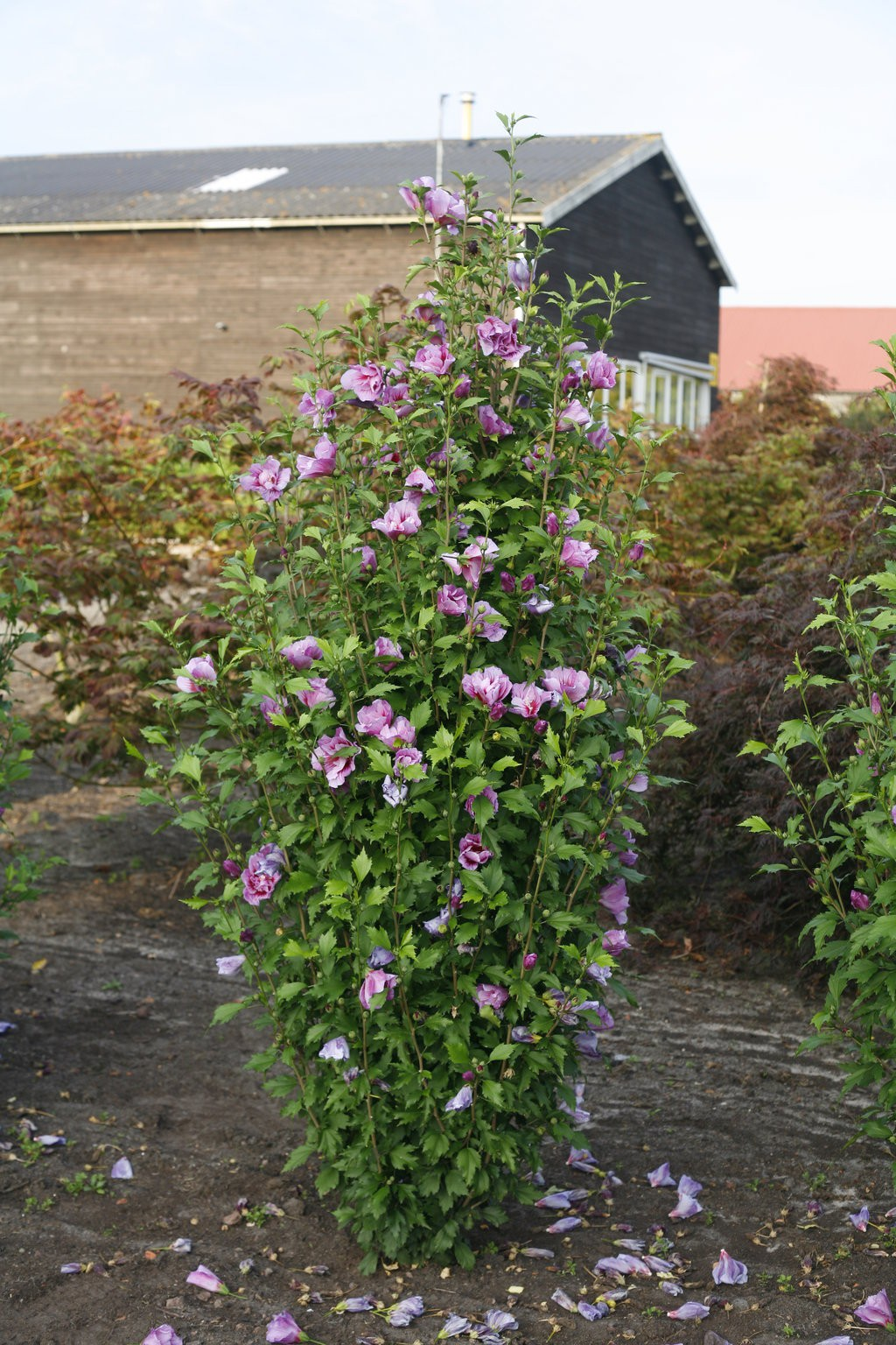 Rose Of Sharon Purple Pillar Althea Thetreefarmcom