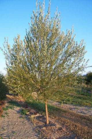 A Fast Growing Shade Trees For Large Yards Or Rural Properties Thetreefarm Com