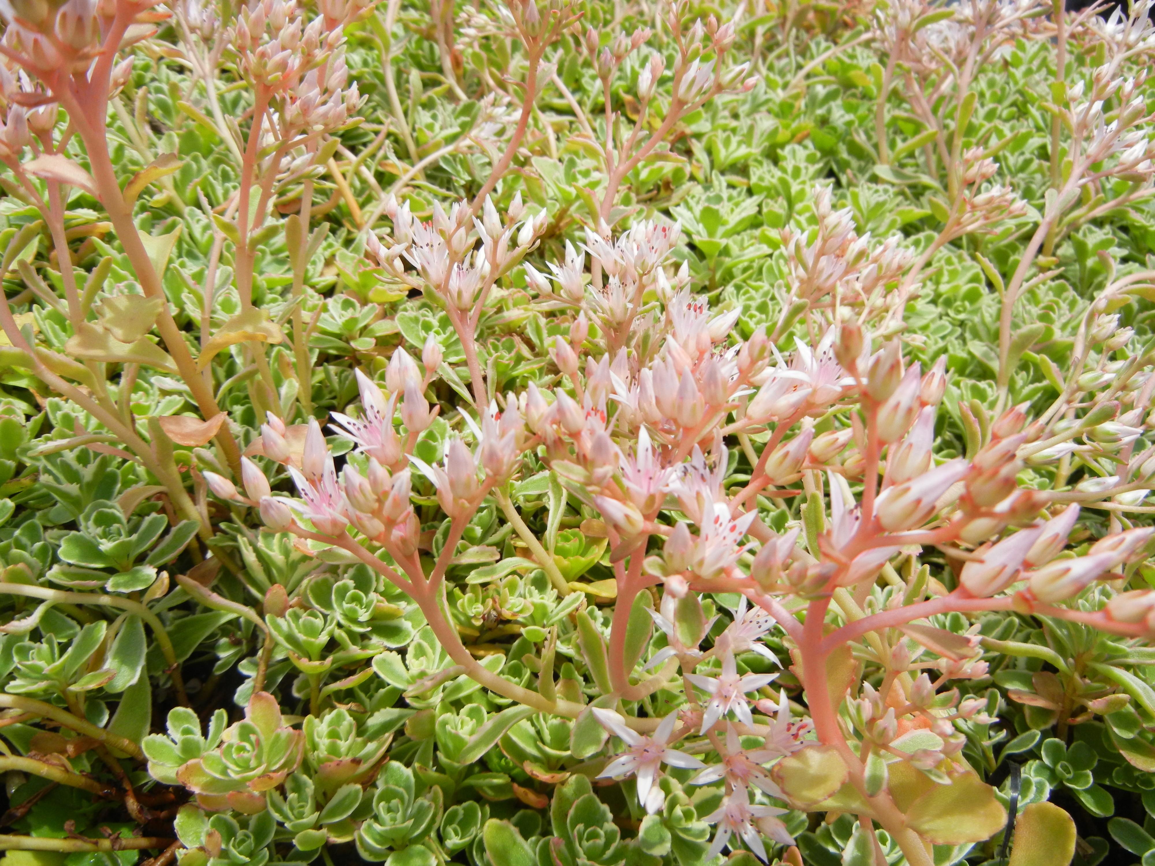 sedum tricolor stonecrop   thetreefarm