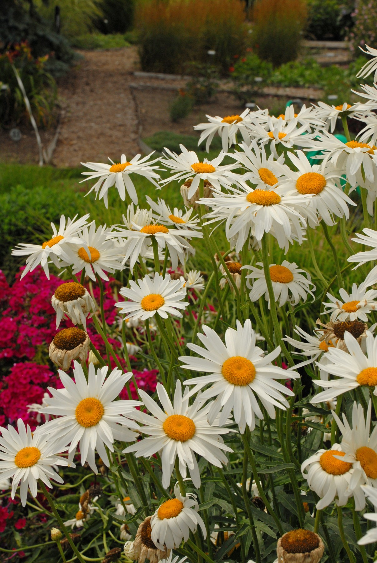 Beauty Yellow Argyranthemum Plants for Sale (Marguerite