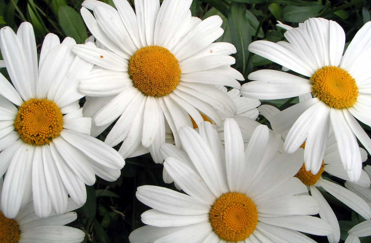 Care Of Marguerite Daisies - Info On Marguerite Daisy
