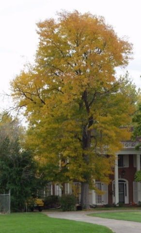 Skyline Honeylocust-mature ©photo ArborTanics Inc.
