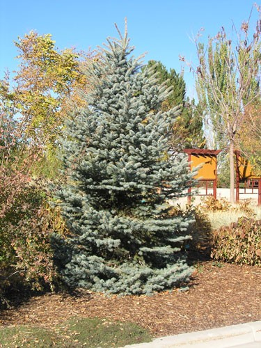 Spruce Colorado Baby Blue Eyes Thetreefarm Com