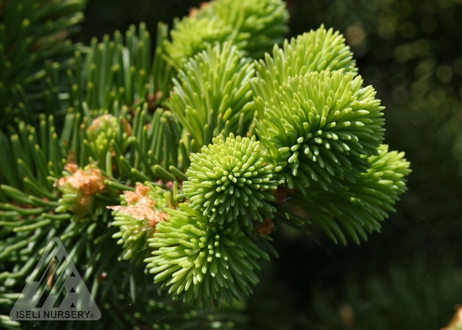 Spruce Colorado Mrs Cesarini Green Dwarf Thetreefarm Com