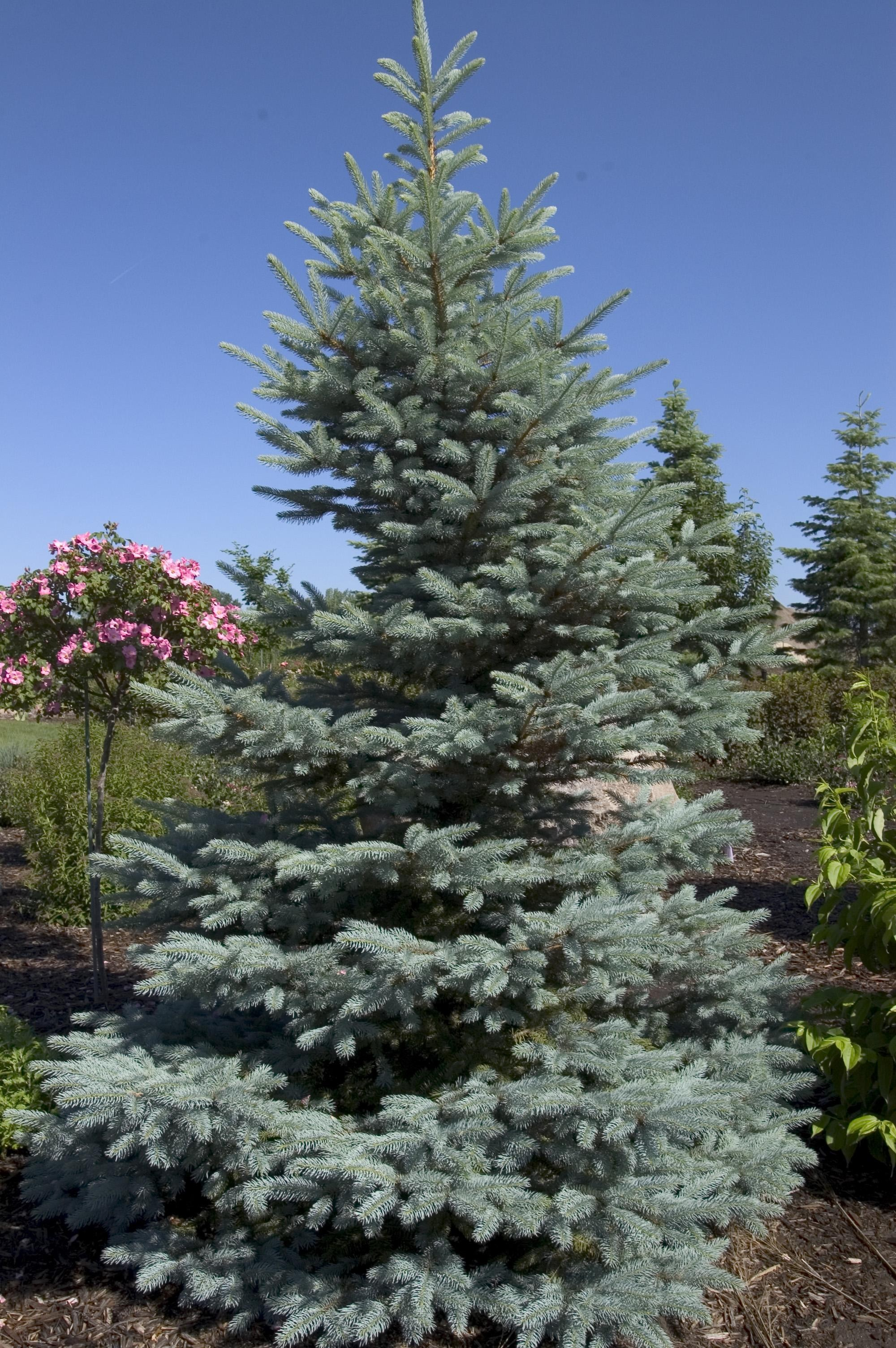 Spruce Colorado Fat Albert Thetreefarm Com