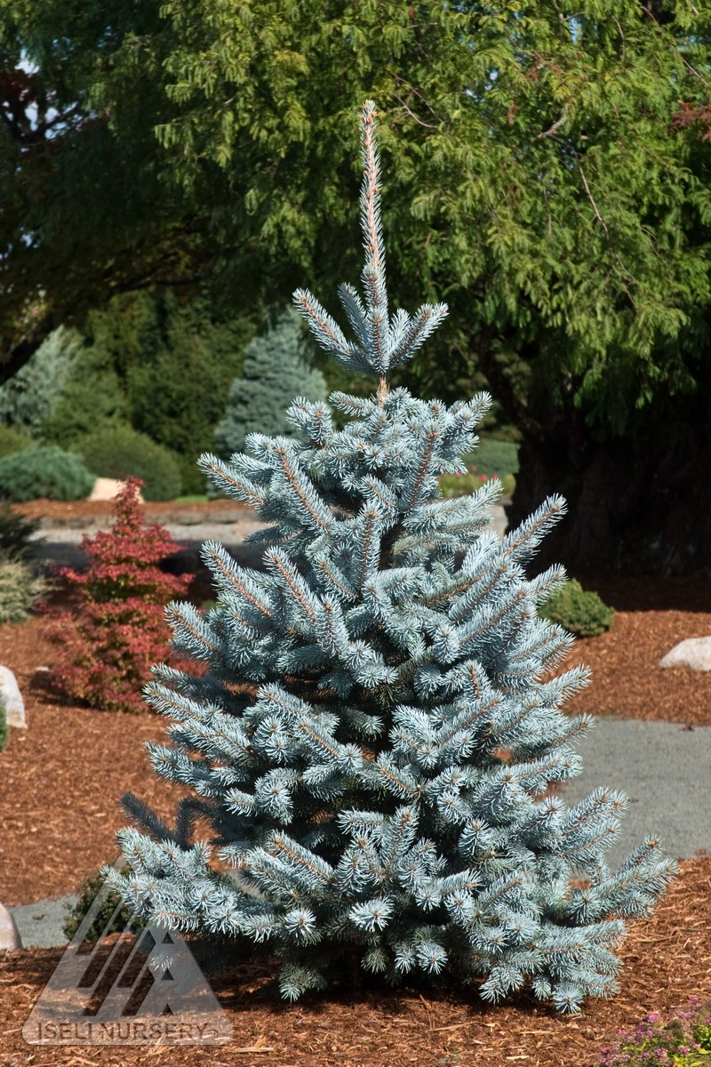 Spruce Colorado Hoopsi Blue Thetreefarm Com