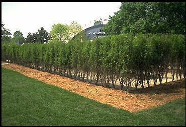 Buckthorn tallhedge - Shrubbery for privacy ...