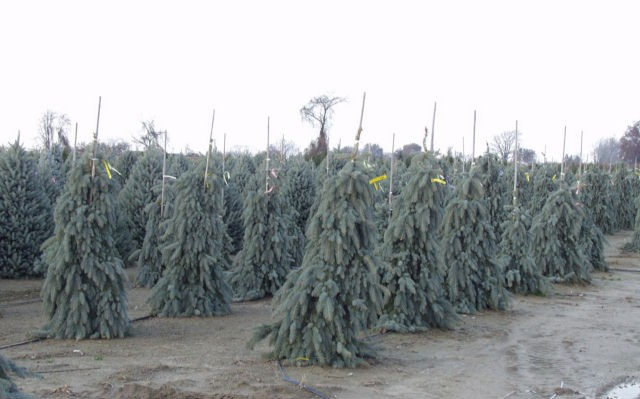 The Blues Weeping Blue Spruce