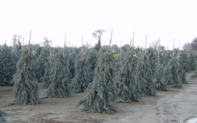 Dwarf Weeping Trees