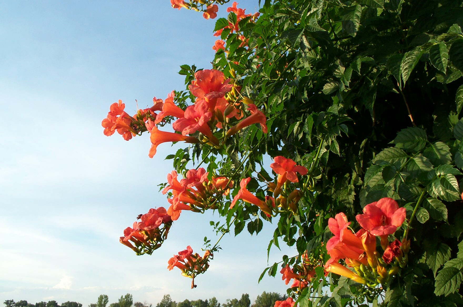Image result for trumpet vine